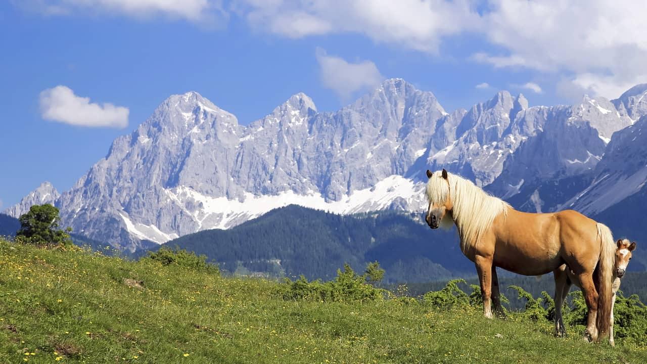 Fina haflingerhästar med vacker bakgrund - Schladming-Dachstein