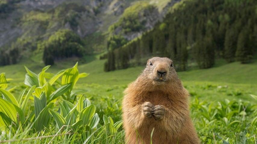 Meet & greet med murmeldjur Ramsi vandring semster i Österrike