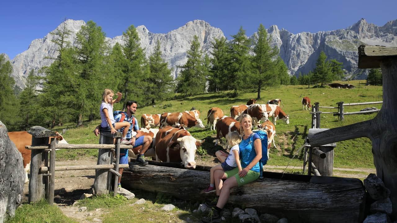Kor? Är de farliga - Vandra Austria Travel i Österrike