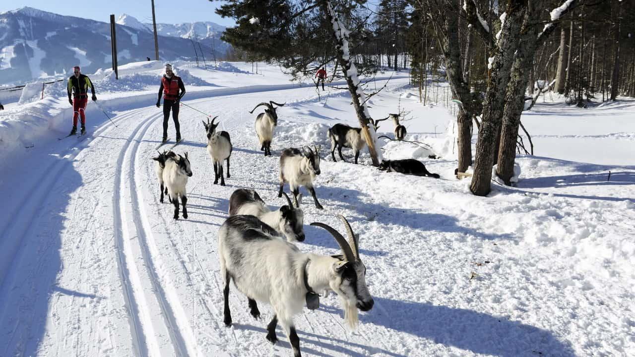Sällskap i snön längdåkning i Salzkammergut Österrike - längdskidor