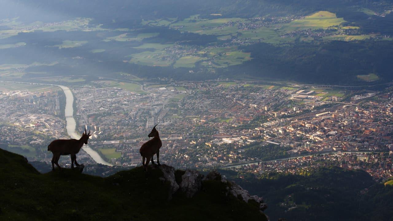 Unga stenbockar ser ut över Innsbruck © Centurioni