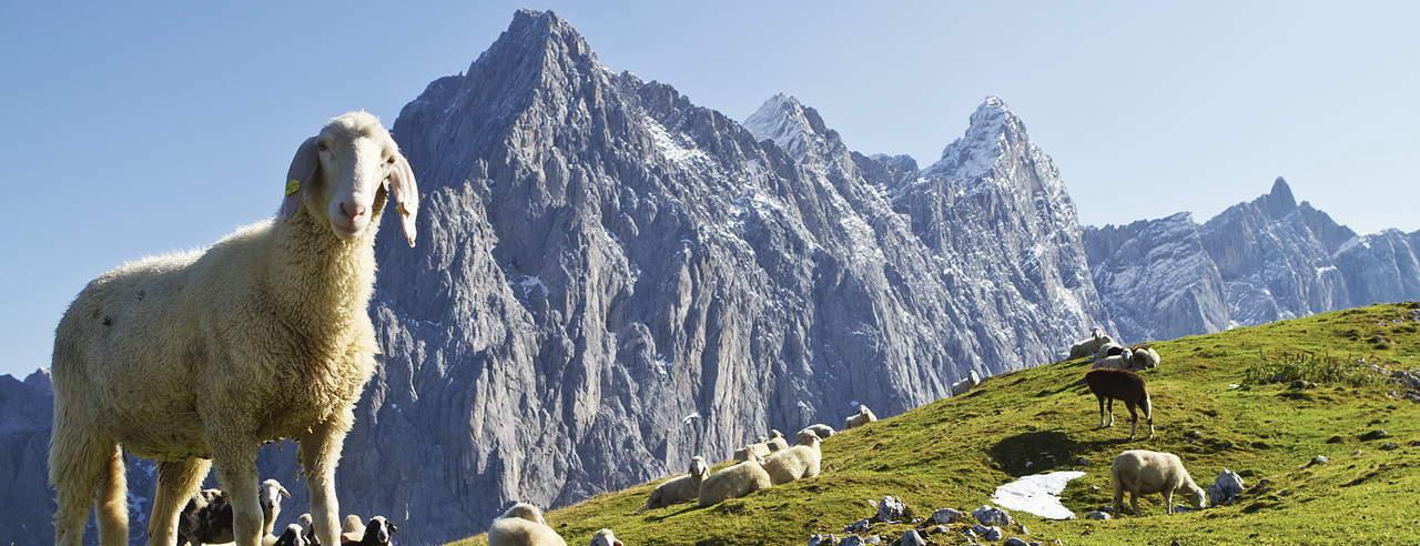 Schaf i Steiermark Semester i Österrike