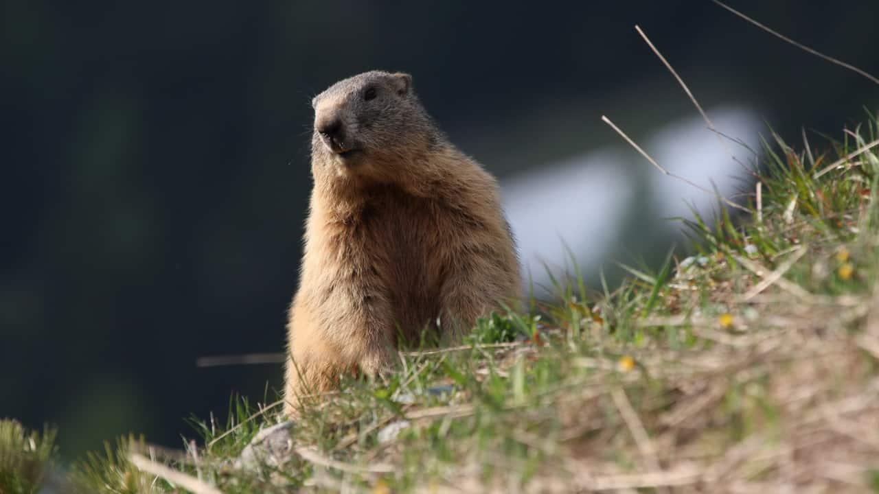 Meet and greet med Ischgls murmeldjur population