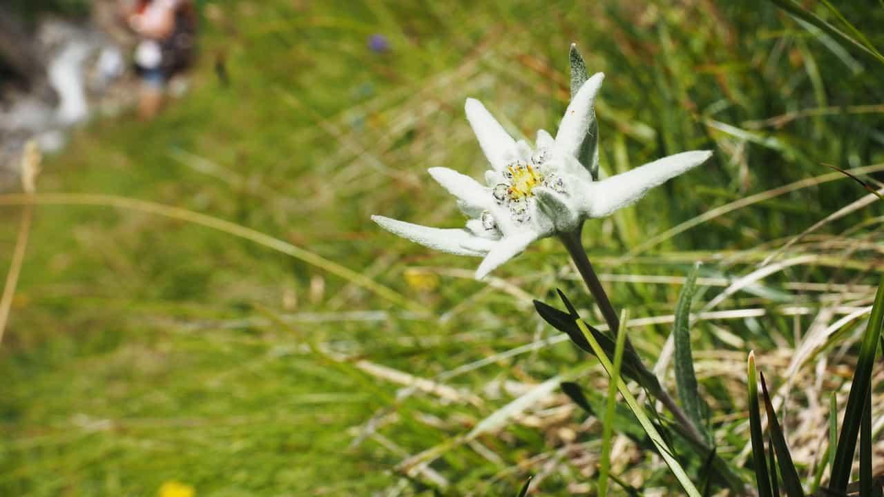Edelweiss i sitt element