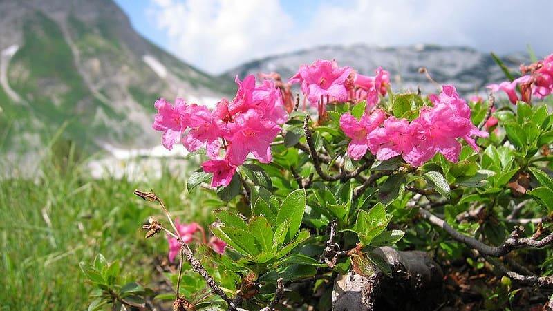 Hårig alpros - behaarte Alpenrose Semester i Österrike