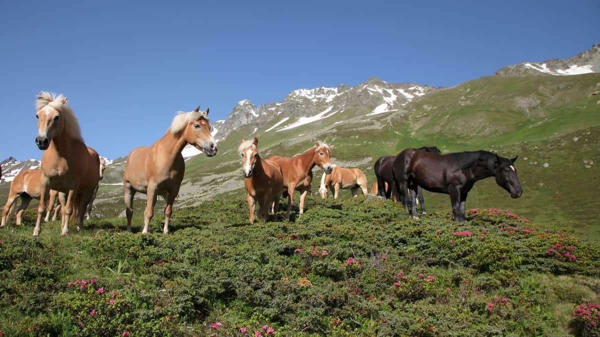 Fina hästar i Ischgl Paznaun Tirol Semester i Österrike