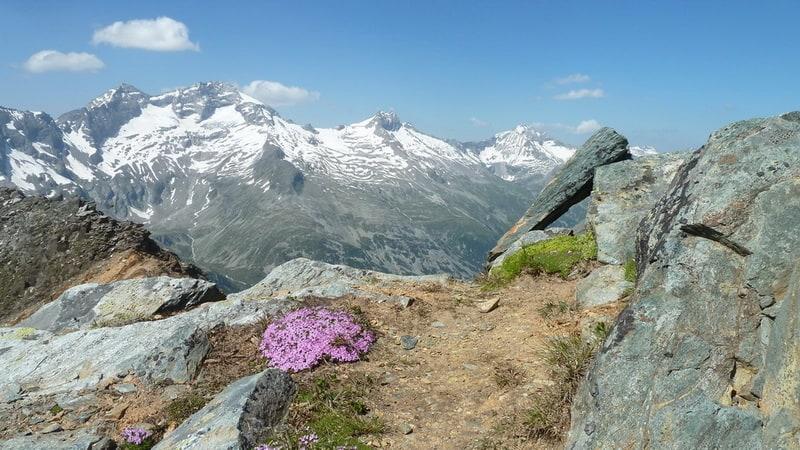 Purpurbräcka - Roter Steinbrech - på toppen Rotbachlspitze 2013 © Austria Travel - Rusner