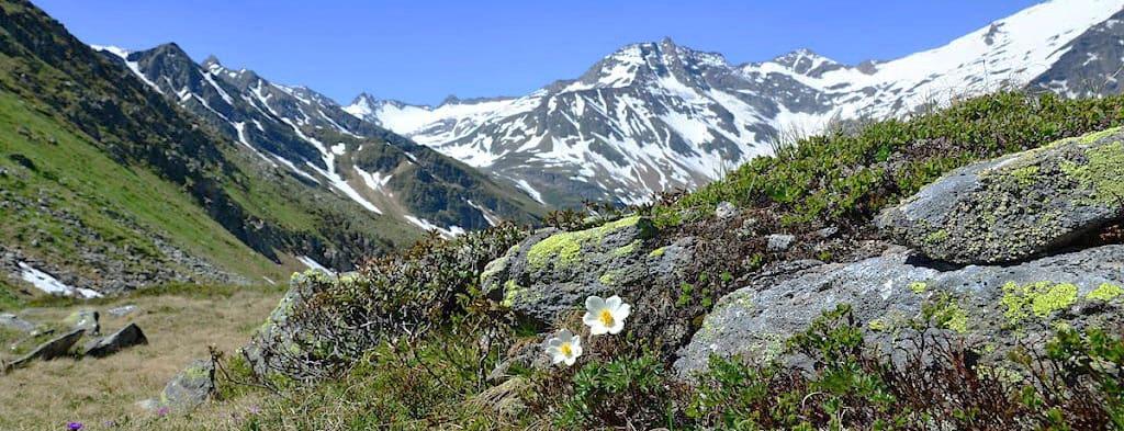 Alpsippa Alpen-Kuhschelle Semester i Österrike