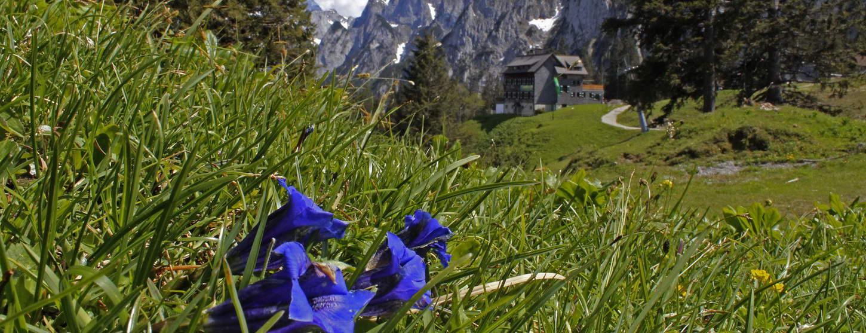 Enzian vid Gablonzerhütte Gosaukamm Salzkammergut Semester i Österrike