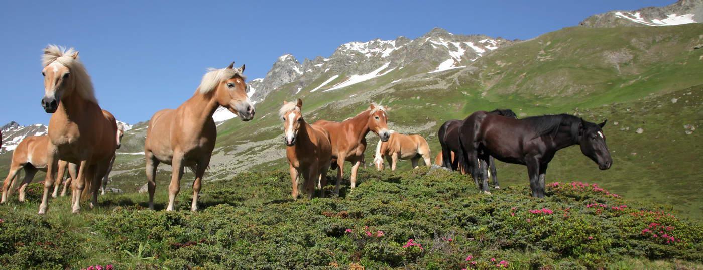 Hästar i Ischgl - Tirol Semester i Österrike
