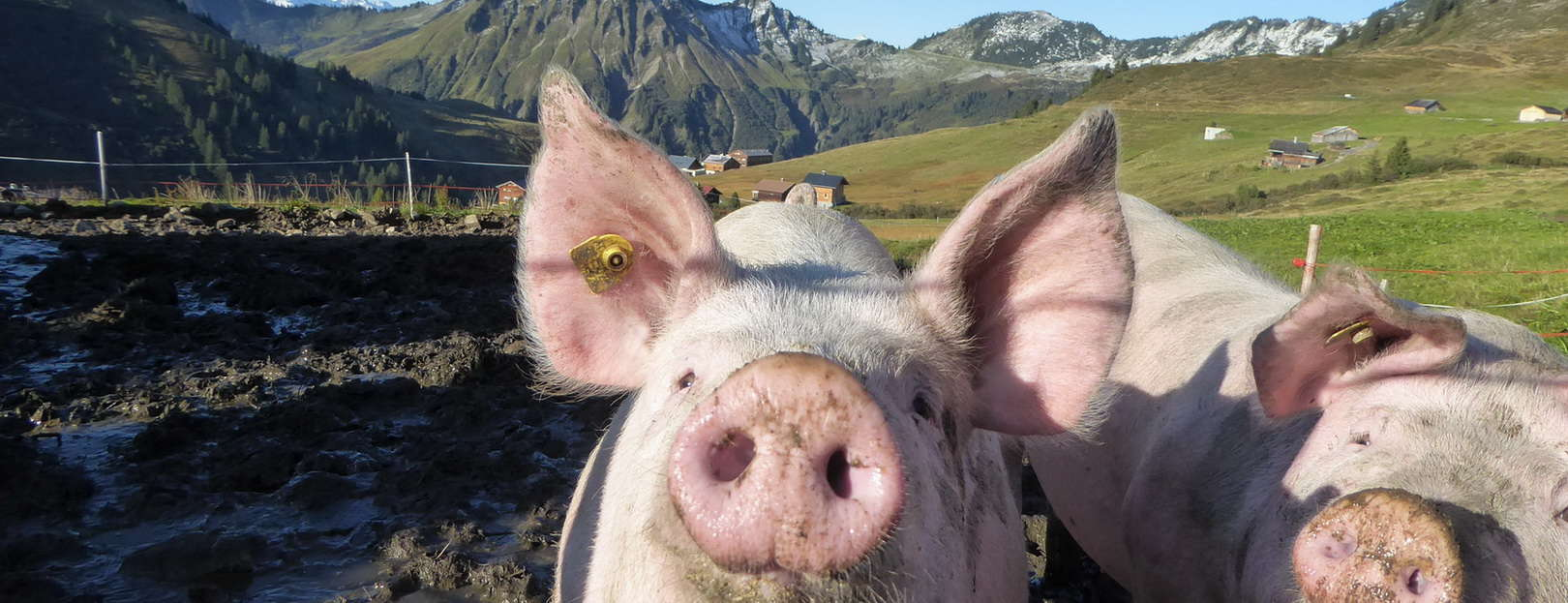 Grisar i Damüls i Österrike © Austria Travel - Rusner