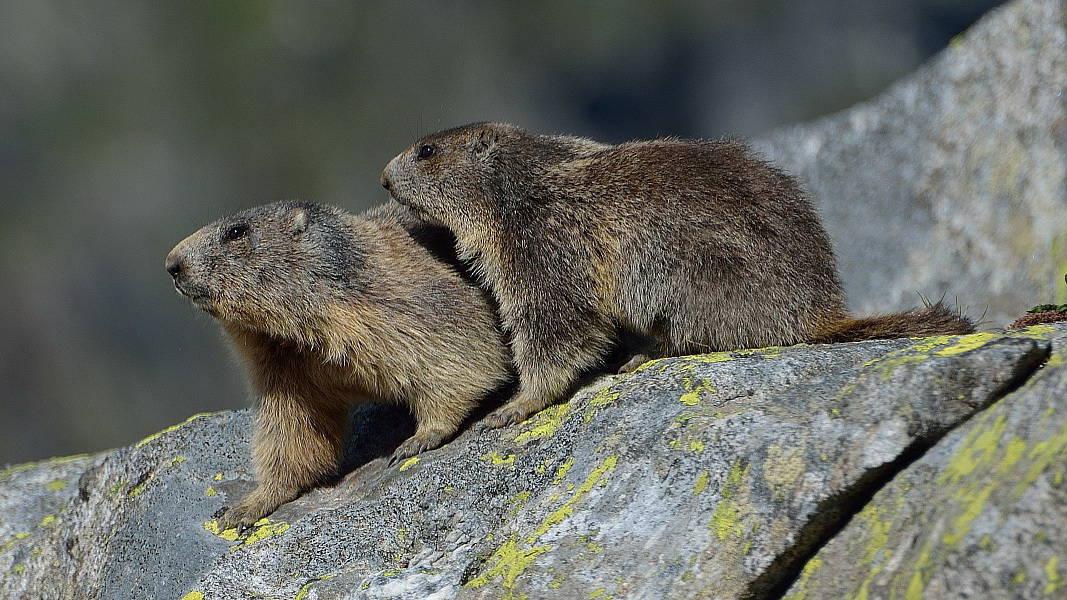 Murmeldjur i nationalparken Hohe Tauern