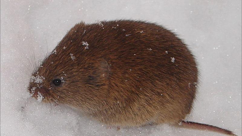 Snösorken Chionomys nivalis snö