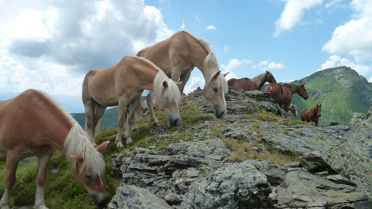 Hästar på gräsbergen vid Saalbach Hinterglemm © Austria Travel - Rusner