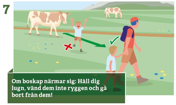 7. Håll dig lugn när kor närmar sig