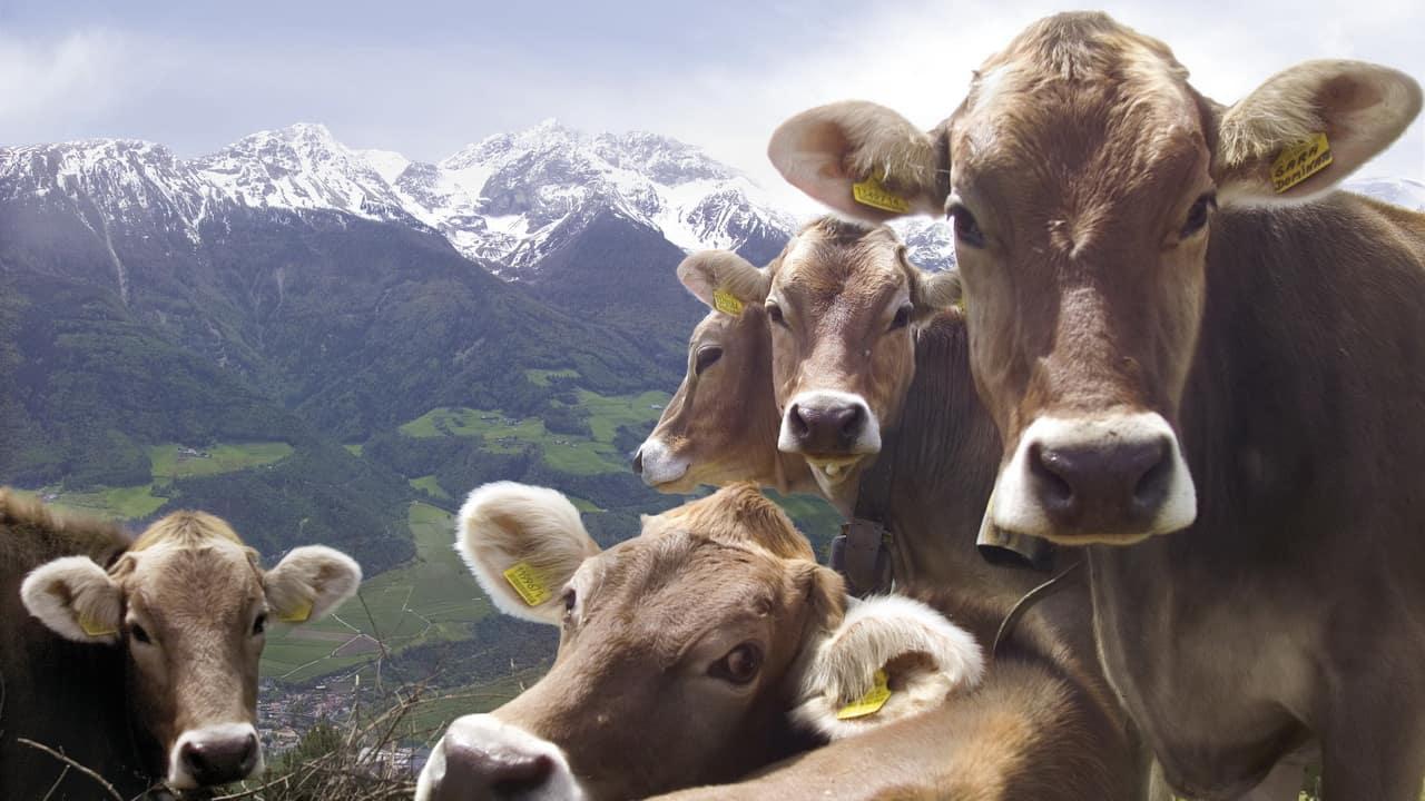 Regler Möte Kor Tiroler Grauvieh Vinschgau Sydtyrolen