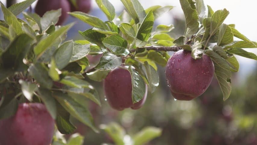 Sydtyrol äpplen