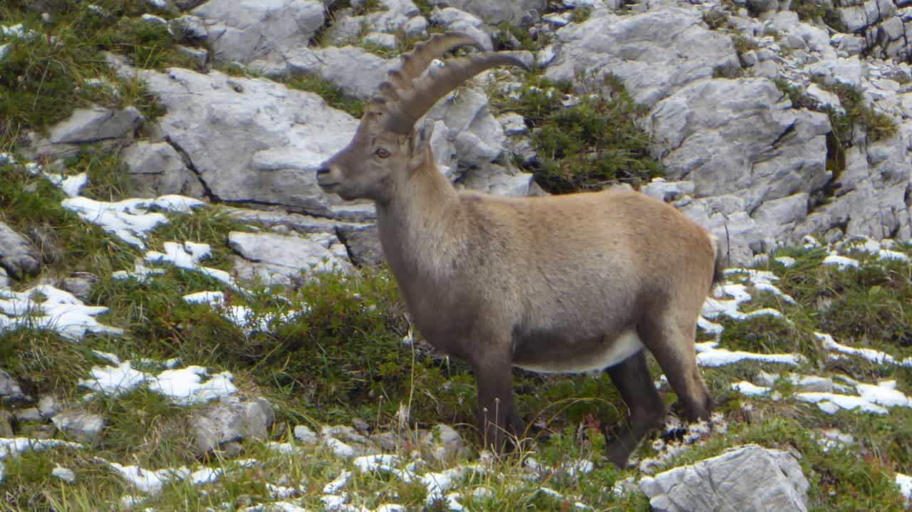 Stenbock Steinbock capra ibex © Austria Travel - Rusner